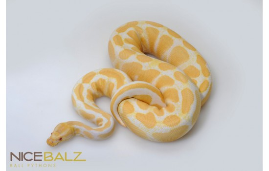 Albino High Contrast