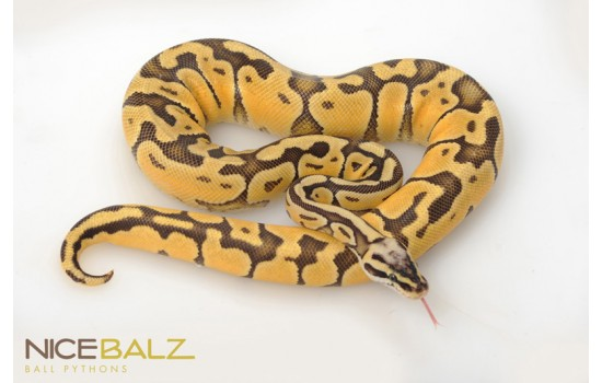 Super lemon Pastel Enchi Ball Python