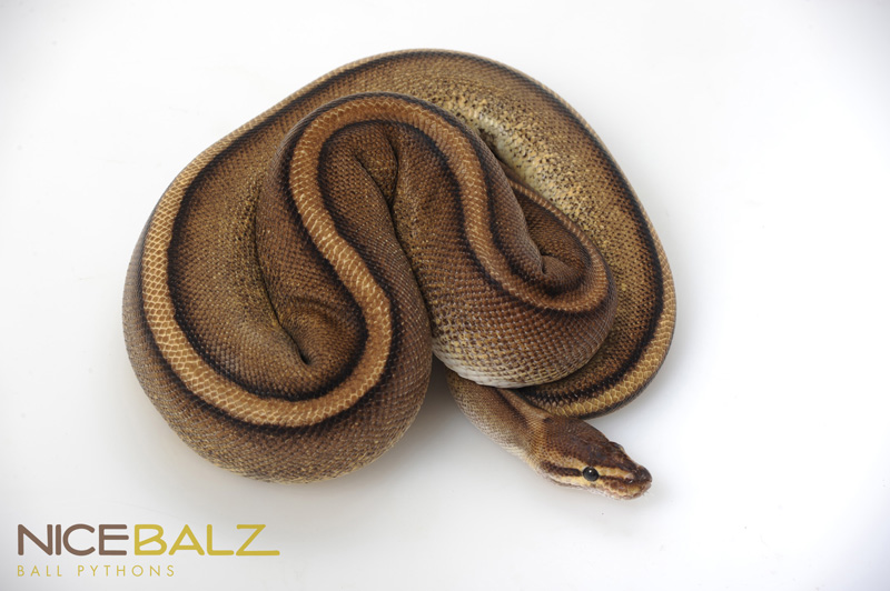 Genetic Stripe Ball Python