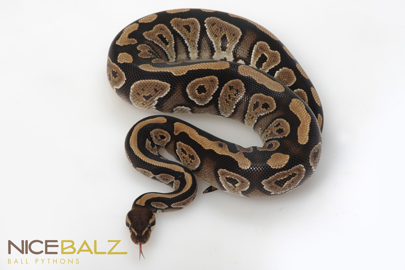 Pastel mystic ball python - photo#18