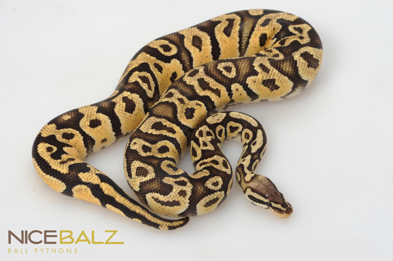 Sulfur Pastel Ball Pythons Online, Python Morphs for Sale