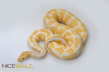 Albino High Contrast Ball Python