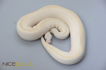 White Diamond Ball Python