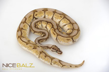 Butter Bee Ball Python