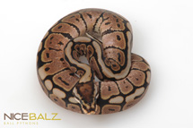 Black Bee Ball Python