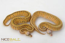 Blast and Super Ball Python