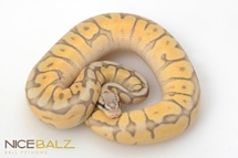 Killer Bee Mojave Ball Python