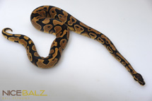 Yellow Belly Amir Line Ball Python
