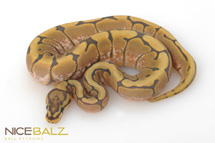 Stinger Bee Ghost Ball Python