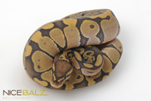 Ghost: Butter Scotch Ball Python