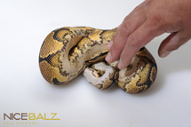 Yellow Belly: Amir Ventral View Ball Python