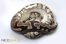 Yellow Belly: Ventral View Ball Python